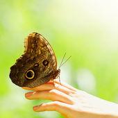 Por un lado femenino de la mariposa — Foto de Stock