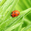 Ladybug on grass — Foto de Stock