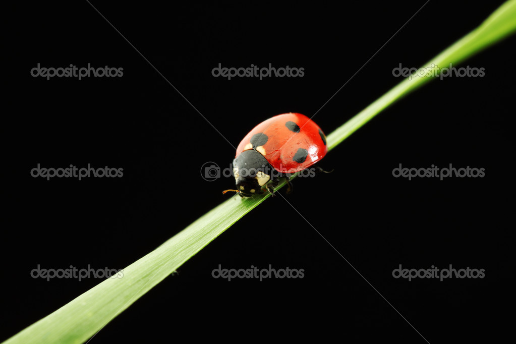 Ladybug on grass isolated black background — Stock Photo #9252201