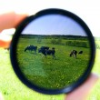 Cow view - Stockfoto