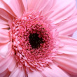 Stock Photo: Pink gerbera
