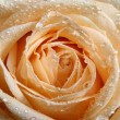 Stock Photo: White rose macro