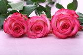 Pink roses macro — Stock Photo
