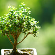 Bonsai — Stock Photo #9386641