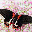 Papilio rumanzovia - Stock Photo