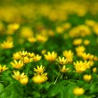 Yellow spring flowers — Stock Photo #9495721