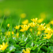 Yellow spring flowers — Stock Photo