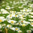 Field with white daisies — Stock Photo #9496013