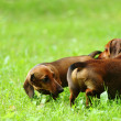 Dachshund on grass — Stock Photo