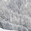 Forest in snow — Stock Photo