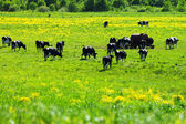 Cows on a green field — Stock Photo