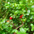 Cowberry — Stock Photo #9798877