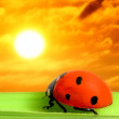 Ladybug see at sunset — Stock Photo