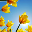 Yellow tulips against the sky - Stock Photo