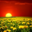 Sunrise on dandelion field — Stock Photo
