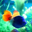 Fish in aquarium — Stock Photo #9989893