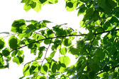 Incredible green leaf foliage — Stock Photo