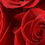 Roses — Stock Photo #9990041