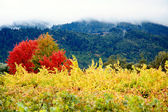 Coloured Autumn Vineyards — Stock Photo