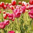Pink spring tulips — Stock Photo