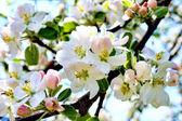 Elma çiçeği — Stok fotoğraf