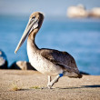 American pelican - Stock Photo