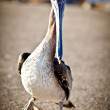 Stock Photo: American pelican