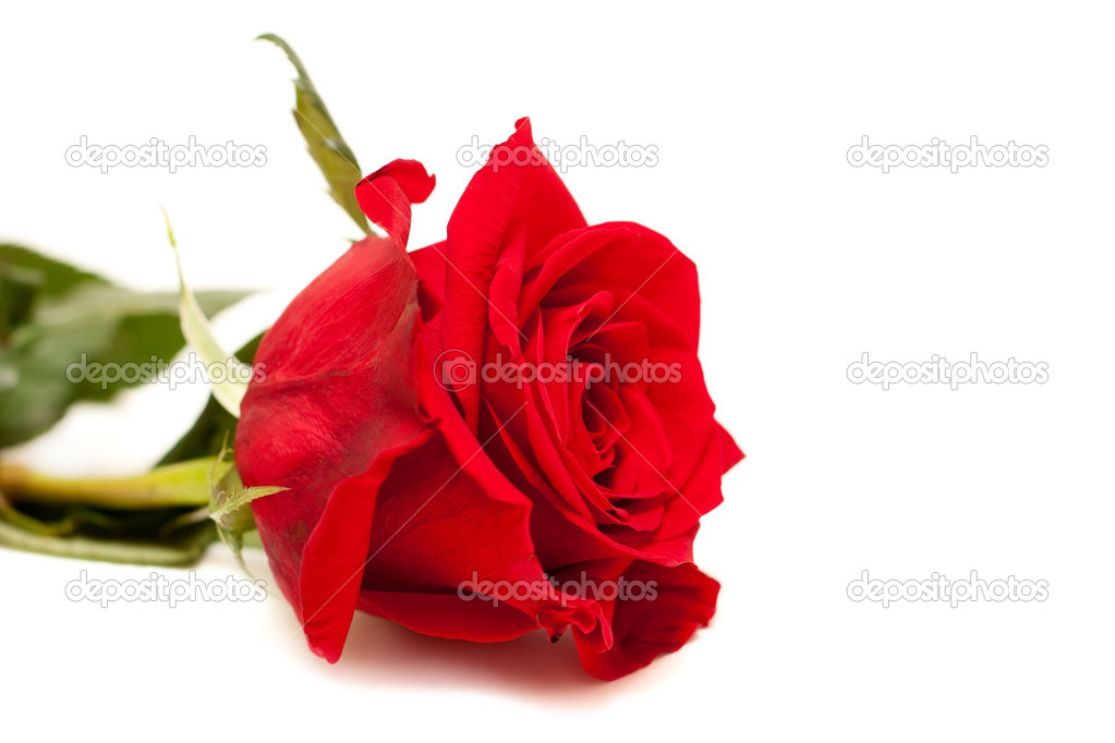 Beautiful red rose isolated on the white background — Stock Photo #9188636