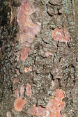 Bark of a tree structure — Stock Photo