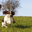 Dogtraining with English Springer Spaniel - Stock Photo