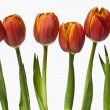 Stock Photo: Orange Tulip