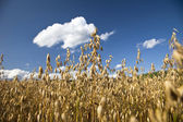 Field with oat — Stock Photo