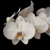 White orchid phalaenopsis on dark — Stock Photo
