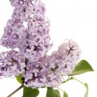 Stock Photo: Lilac flower