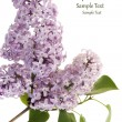 Lilac flower - Stock Photo