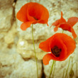 Coquelicots rouges — Photo