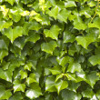 Stock Photo: Ivy background
