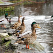 Group of standing ducks — Stock Photo