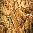 Wheat ears — Stockfoto
