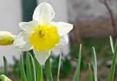 Narcissus — Stockfoto