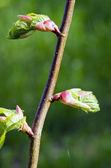 Galho de árvore de limão folhas de desdobramento na primavera — Fotografia Stock