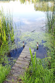 Small river bridge. natural green water flora. — Stock Photo