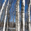Stock Photo: Background birch tree forest snow defrost spring