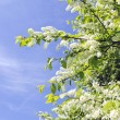 Bird cherry bush blooming in spring on blue sky — Stock Photo