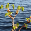 Conker tree branches grow in spring ripple water — Stock Photo #10191378