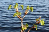 Conker tree branches grow in spring ripple water — Stock Photo