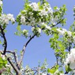 Blossom apple tree branch on background blue sky — Stock Photo