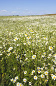 Background of agriculture field marguerite flowers — Stock Photo