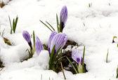 Crocus saffron violet blooms spring flowers snow — Stock Photo