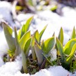 Tulip leaves between melting snow in spring